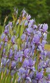 Iris blommor — Stockfoto