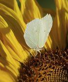 Motýl na slunečnice — Stock fotografie