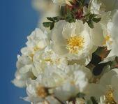 Dog rose flowers — Stock Photo