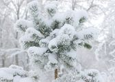 Snow on fir-tree branch — Stock Photo