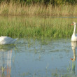 Swans on the water — Stock Photo