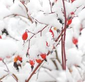 Dog rose fruits under the snow — Foto Stock