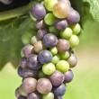 Cabernet Franc Grapes Ripening on the Vine — Stock Photo