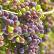 Cabernet Sauvignon Grapes Ripening on the Vine — Stock Photo