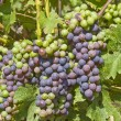 Stock Photo: Bunches of Cabernet Sauvignon Grapes Ripening on Vine