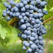 Stock Photo: Bunch of Red Wine Grapes (Cabernet Sauvignon)