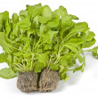 Hydroponic Arugula (Rocket) Isolated on White - Stock Photo