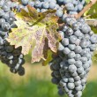 Bunches of Cabernet Sauvignon Grapes — Stock Photo
