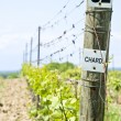 Stock Photo: Row of Chardonnay Vines in Spring