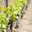 Chardonnay Vines in he Spring — 图库照片