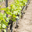 Stock Photo: Chardonnay Vines in he Spring