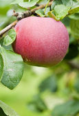 Macintosh Apples on the Tree — Stock Photo