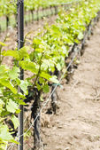 Chardonnay Vines in he Spring — Stock Photo