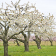 Apple and Cherry Orchards in Spring — Stock Photo
