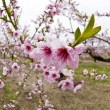 Cherry Tree Blossoms — Stock Photo #12339843