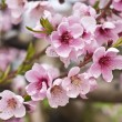 Cherry Tree Blossoms — Stock Photo #12339845