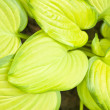 Stock Photo: Hostas Close-Up