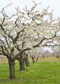 Apple and Cherry Orchards in Bloom — Stock Photo