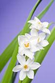 White Narcissus on Lavender Background — Stock Photo