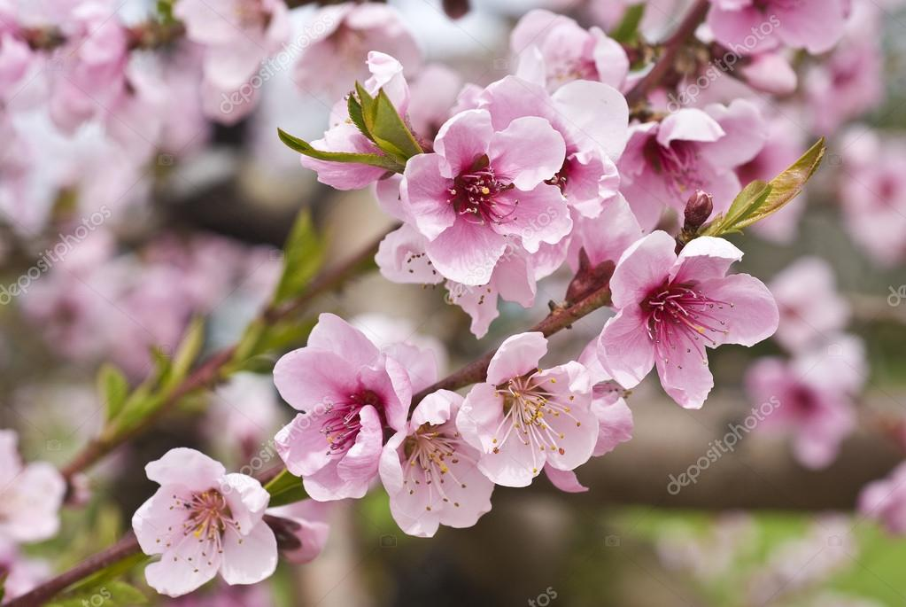 cherry orchard symbolism essay Read and enjoy poetry then, click on painting for further information review examples of short stories and you will probably agree that, whether contemporary or classic, a short story can tell a complete story in a small number of cherry orchard symbolism essay.
