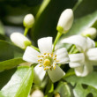 Orange Blossoms — Stock Photo #12340011