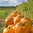 Orange Pumpkins in Crates on a Farm — Stock Photo