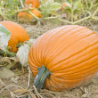 Big Orange Pumpkins in the Field — Stock Photo #12340131