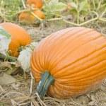 Big Orange Pumpkins in the Field — Stock Photo