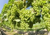 Uvas verdes na videira — Foto Stock