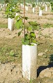 Grape Seedlings in a Vineyard — Stock Photo