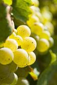 Riesling Wine Grape Backlit — Stock Photo