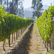 Stock Photo: Vineyard in Chile