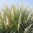 Stock Photo: Ornamental Grass Against blue Sky