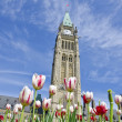 Stock Photo: Parliament Hill (Ottawa) and Tulips