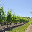 Stock Photo: Vineyard in the Spring