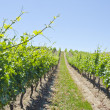 Vineyard in the Spring — Stock Photo