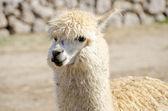 Close-up van een alpaca — Stockfoto