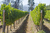 Vineyard in Chile — Stock Photo