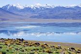 Miscanti lagunu altiplano chile — Stock fotografie