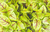 Close Up of a Sorrel Plant — Stock Photo