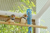 Male Zebra Finches in a Cage — Stock Photo