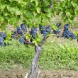 Stock Photo: Cabernet Sauvignon Red Wine Grapes on Vine