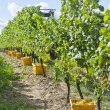 Harvested Riesling White Wine Grapes — Stock Photo #13138408