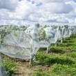 Pinot Noir Red Wine Grapes Under Protective Nets — Stock Photo