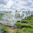 Pinot Noir Red Wine Grapes Under Protective Nets — Stock Photo #13138512