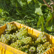 Harvested Riesling White Wine Grapes — Stock Photo #13138532