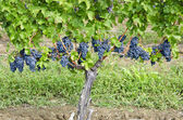 Cabernet Sauvignon Red Wine Grapes on the Vine — Stock Photo