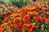 Orange Fall Chrysanthemums — Stock Photo
