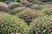 Pink Fall Chrysanthemums — Stock Photo