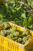 Harvested Riesling White Wine Grapes — 图库照片